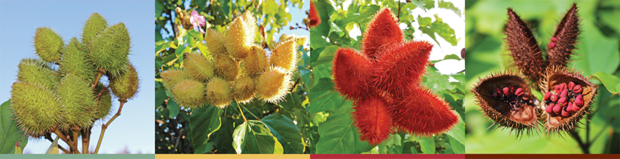 Annatto-pods