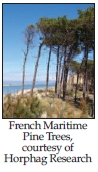 French maritime pine trees
