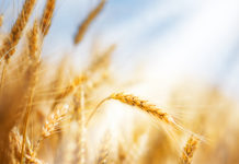 wheat metabolic syndrome